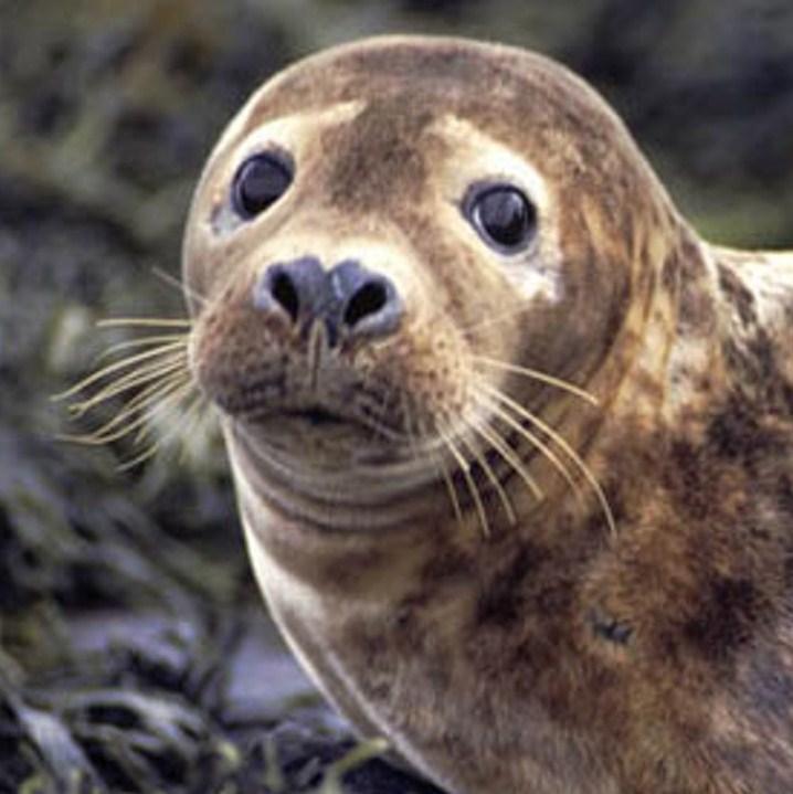 We spot Grey Atlantic Seals